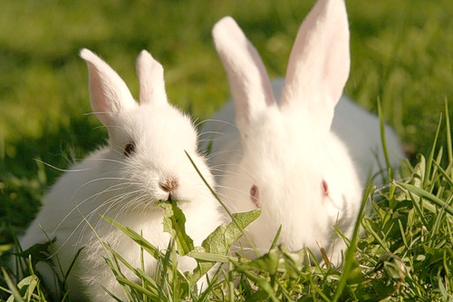 history-of-the-rabbit8